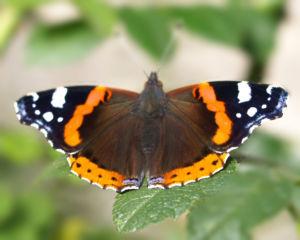 Insekt Schmetterling Admiral Falter Vanessa atalanta 04