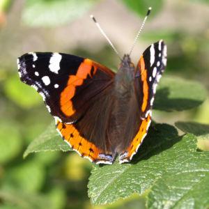 Bild: Insekt Schmetterling Admiral Falter Vanessa atalanta