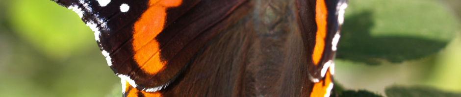 Anklicken um das ganze Bild zu sehen Insekt Schmetterling Admiral Falter - Vanessa atalanta