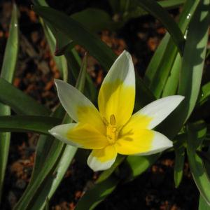 Iran Tulpe Bluete gelb Tulipa urumiensis 04