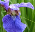 Iris sibirica Bluete blau Iris sibirica 05