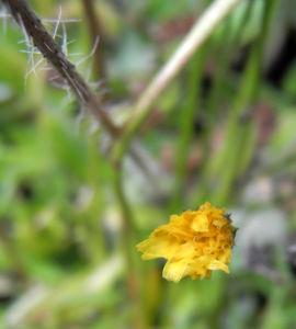 Islaendisches Habichtskraut Bluete gelb Pilosella islandica 07
