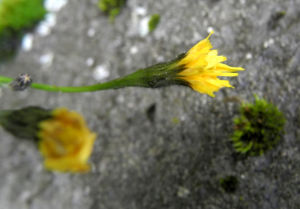 Islaendisches Habichtskraut Bluete gelb Pilosella islandica 08