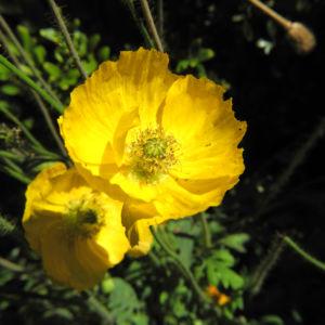 Islandmohn Bluete gelb Papaver nudicaule 03