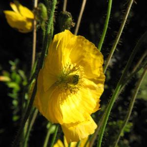 Islandmohn Bluete gelb Papaver nudicaule 05