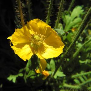 Islandmohn Bluete gelb Papaver nudicaule 11