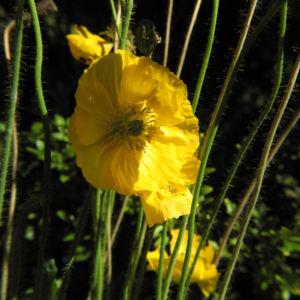 Islandmohn Bluete gelb Papaver nudicaule 16