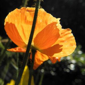 Islandmohn Bluete orange Papaver nudicaule 05
