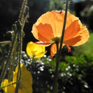 Islandmohn Bluete orange Papaver nudicaule 06