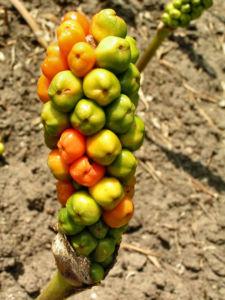 Italienischer Aronstab Frucht rot gruen Arum italicum 01