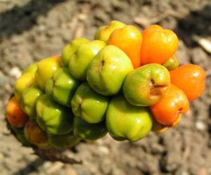 Italienischer Aronstab Frucht rot gruen Arum italicum 03
