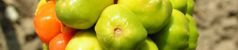 italienischer-aronstab-frucht-rot-gruen-arum-italicum