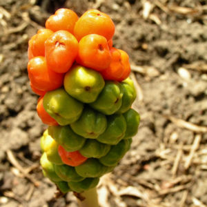 Italienischer Aronstab Frucht rot gruen Arum italicum 05