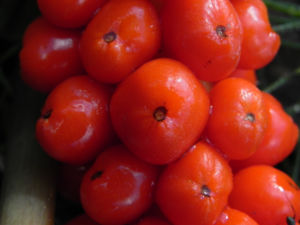 Italienischer Aronstab Frucht rot Arum italicum 03