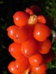 Italienischer Aronstab Frucht rot Arum italicum 09