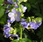 Jacobsleiter Himmelsleiter Bluete hellblau Polemonium caeruleum 01