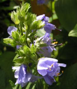 Jacobsleiter Himmelsleiter Bluete hellblau Polemonium caeruleum 02