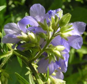 Jacobsleiter Himmelsleiter Bluete hellblau Polemonium caeruleum 04