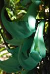 Jadewein Jade Vine Bluete tuerkis Strongylodon macrobotrys 03