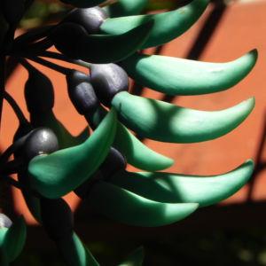 Bild: Jadewein Jade Vine Bluete tuerkis Strongylodon macrobotrys