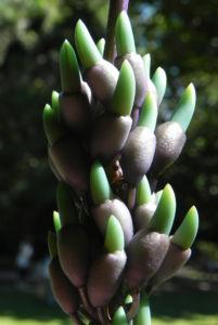 Jadewein Jade Vine Bluete tuerkis Strongylodon macrobotrys 25