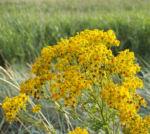 Bild: Jakobs Greiskraut Blüte gelb Senecio jacobaea