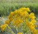 Zurück zum kompletten Bilderset Jakobs Greiskraut Blüte gelb Senecio jacobaea