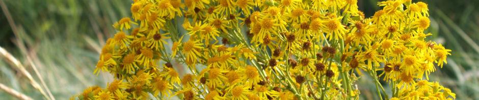 Anklicken um das ganze Bild zu sehen Jakobs Greiskraut Blüte gelb Senecio jacobaea
