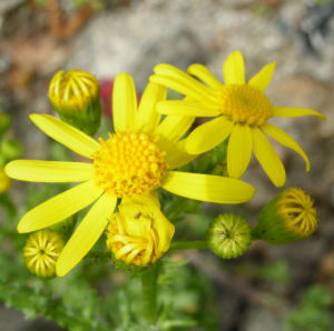 Bild: Jakobs Greiskraut Bluete gelb Senecio jacobaea
