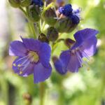 Jakobsleiter Himmelsleiter Sperrkraut Bluete blau Polemonium caeruleum 02
