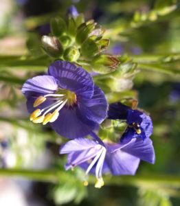 Jakobsleiter Himmelsleiter Sperrkraut Bluete blau Polemonium caeruleum 04