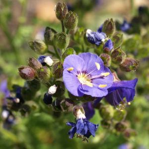 Jakobsleiter Himmelsleiter Sperrkraut Bluete blau Polemonium caeruleum 05