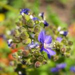 Jakobsleiter Himmelsleiter Sperrkraut Bluete blau Polemonium caeruleum 06