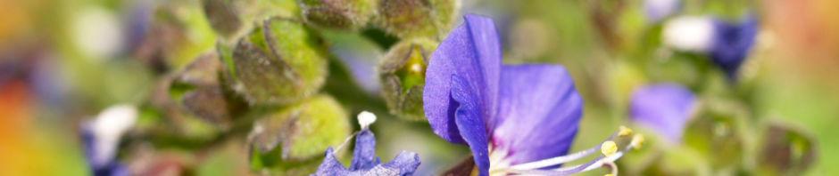 jakobsleiter-himmelsleiter-sperrkraut-bluete-blau-polemonium-caeruleum
