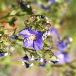 Jakobsleiter Himmelsleiter Sperrkraut Bluete blau Polemonium caeruleum 07