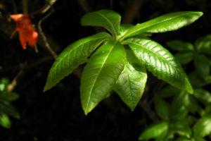 Japan Azalee Blatt gruen Rhododendron mollis 04