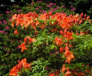 Japan Azalee Bluete orange Rhododendron mollis 11