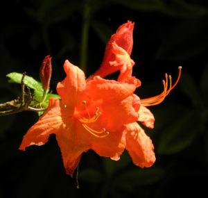 Japan Azalee Bluete orange Rhododendron mollis 13