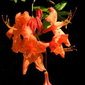 Japan Azalee Bluete orange Rhododendron mollis 14