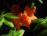 Bild: Japan-Azalee Blüte orange Rhododendron mollis
