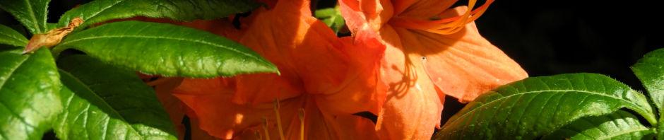 Anklicken um das ganze Bild zu sehen Japan-Azalee Blüte orange Rhododendron mollis