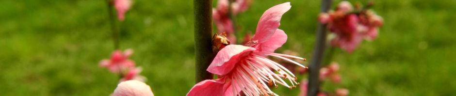 japanische-aprikose-bluete-pink-prunus-mume