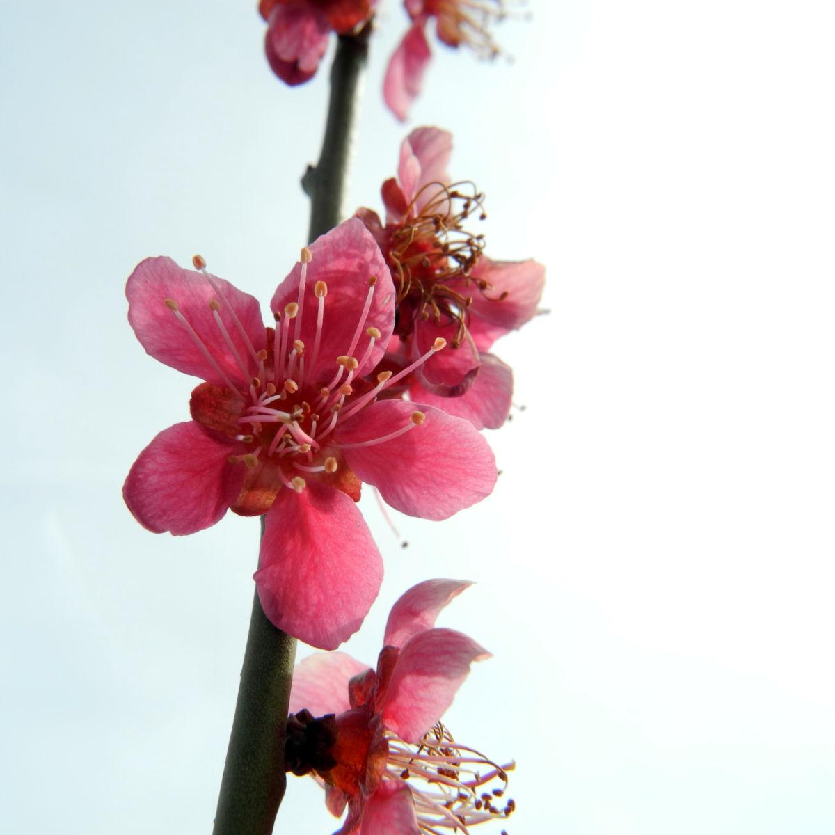 Japanische Aprikose Bluete pink Prunus mume