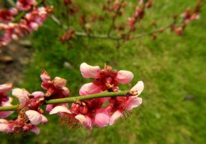 Japanische Aprikose Bluete pink Prunus mume 08