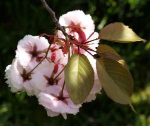 Japanische Bluetenkirsche Baum Bluete hellrosa Prunus serrulata 01