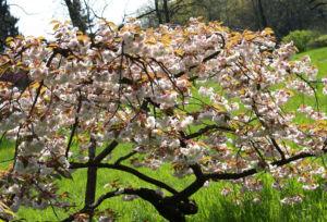 Japanische Bluetenkirsche Baum Bluete hellrosa Prunus serrulata 02