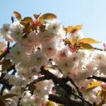 Japanische Bluetenkirsche Baum Bluete hellrosa Prunus serrulata 04