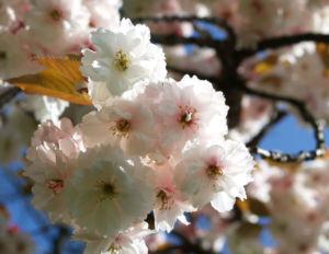 Japanische Bluetenkirsche Baum Bluete hellrosa Prunus serrulata 05