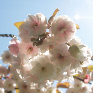 Japanische Bluetenkirsche Baum Bluete hellrosa Prunus serrulata 06