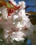 Japanische Bluetenkirsche Baum Bluete hellrosa Prunus serrulata 07